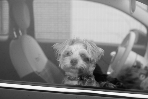 small dog looks out window of closed car