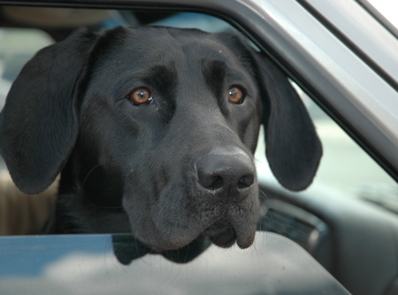 black Labrador Retriever in car